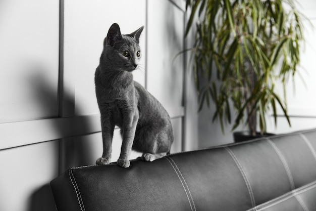 Gray russian blue cat sitting on a black leather sofa