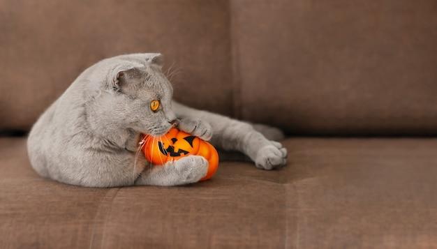 Серая шотландская кошка кусает оранжевую тыкву на хэллоуин, лежа на коричневом диване