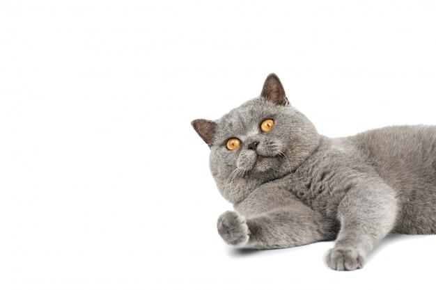 Серый шотландский кот лежит и смотрит в кадр копией пространства.