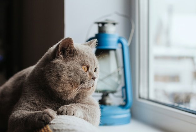 Gray scottish cat lies on the back of the sofa and looks out the window