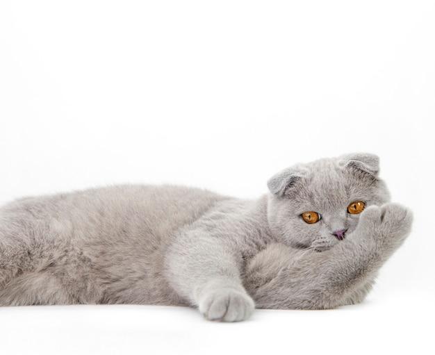 Серый шотландский кот на светлой поверхности