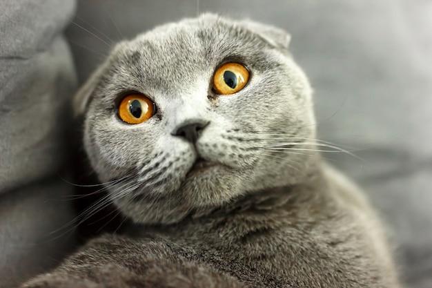 枕とソファの上の灰色のスコットランド猫