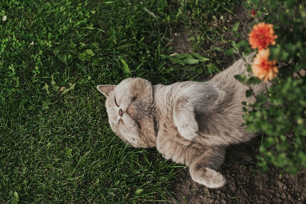 Gray scottish cat sleeps in the grass.