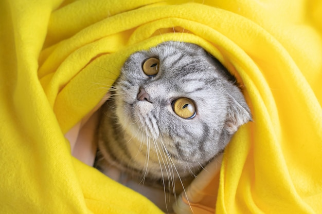The gray scottish fold cat in a black strip is sitting on a bed with a yellow plaid