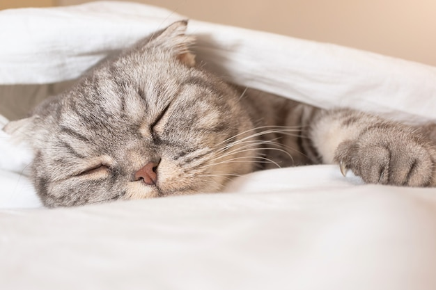 The gray scottish fold cat gray in a black strip with yellow eyes lies on a bed