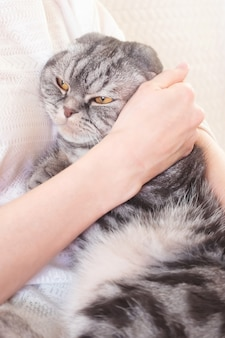 Gray scottish fold cat in the hands of a woman
