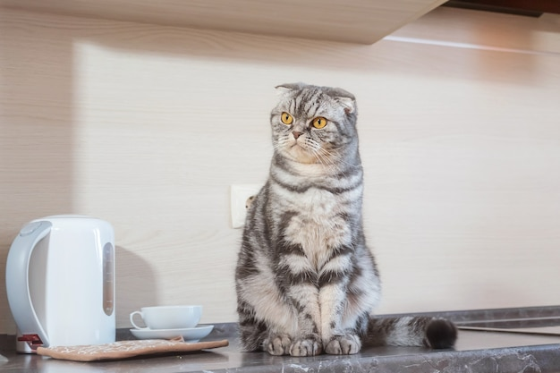A gray scottish fold cat sits on a table in the kitchen. the concept of weaning pets from climbing on the table.