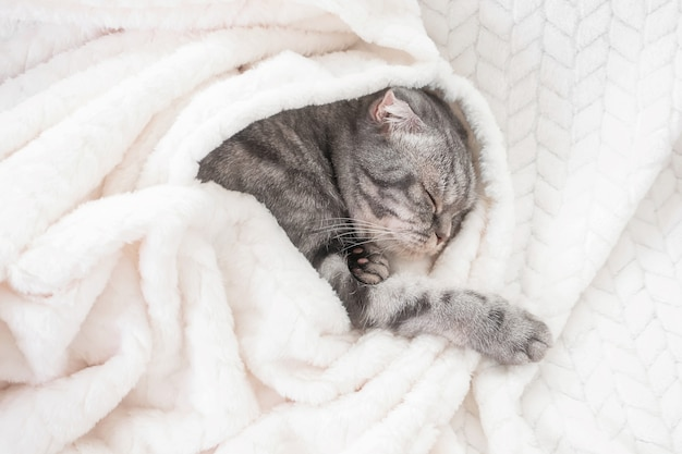 The gray scottish fold cat sleeps wrapped in a warm beige plaid
