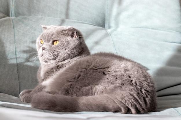 Gray scottish fold cat on a soft green sofa