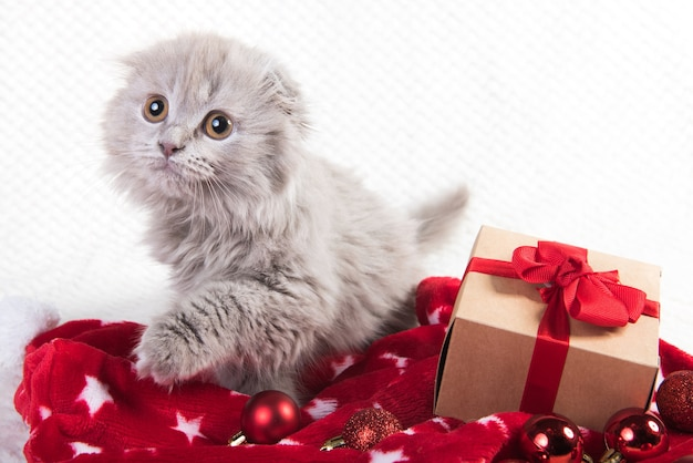 Серый шотландский вислоухий котенок хайленд вислоухий в подарочной коробке.