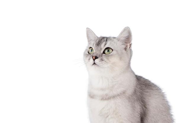Серый шотландский котенок изолировать на белом фоне