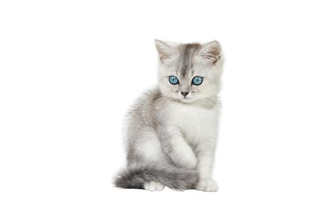白い背景に分離された青い目をした灰色のスコットランドの子猫