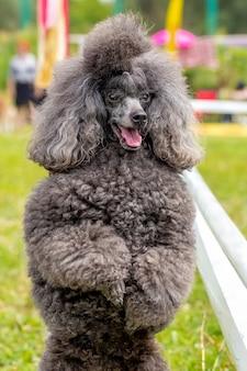 灰色の毛むくじゃらのプードルが歩いている間、公園の後ろ足で立ってクローズアップ、訓練された犬