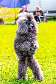 灰色の毛むくじゃらのプードルは、散歩中に公園の後ろ足で立っています、訓練された犬