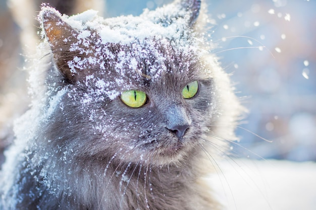 冬の屋外で緑色の目を持つ灰色の雪に覆われた猫