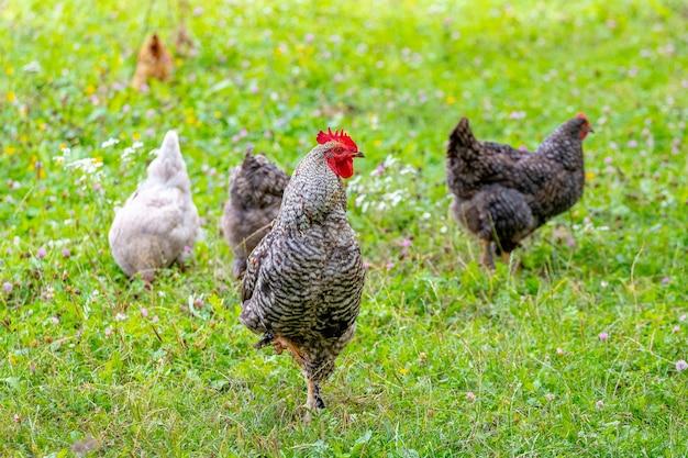 잔디에 있는 농장 정원에서 회색 점박이 수탉과 닭이 음식을 찾고 있습니다.