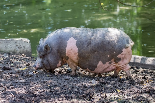 Серая пятнистая вьетнамская свинья на ферме в болоте. разведение свиней_