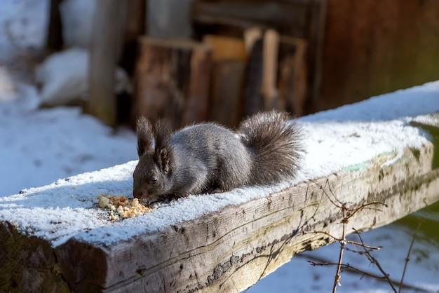 冬に木の丸太でパン粉を食べる灰色のリス