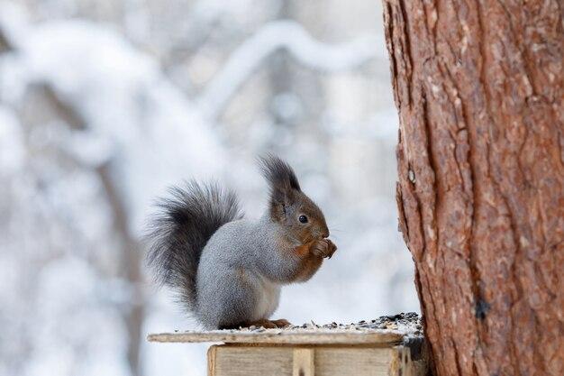 Серая белка на дереве в зимнем парке
