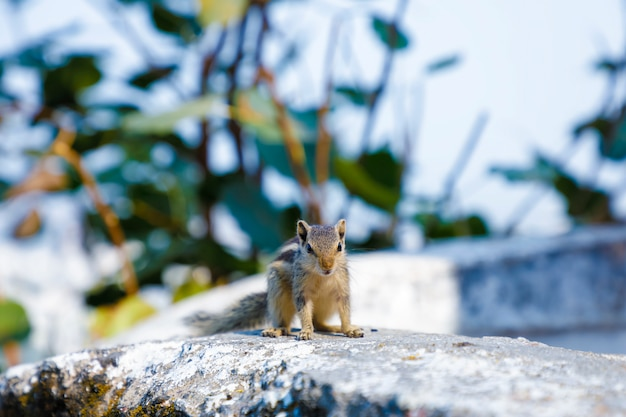 Gray squirrel sitting on wall compound