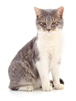 Серый полосатый кот, изолированные на белом фоне
