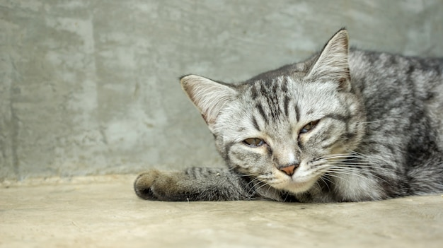 Gray striped cat lying in the room.