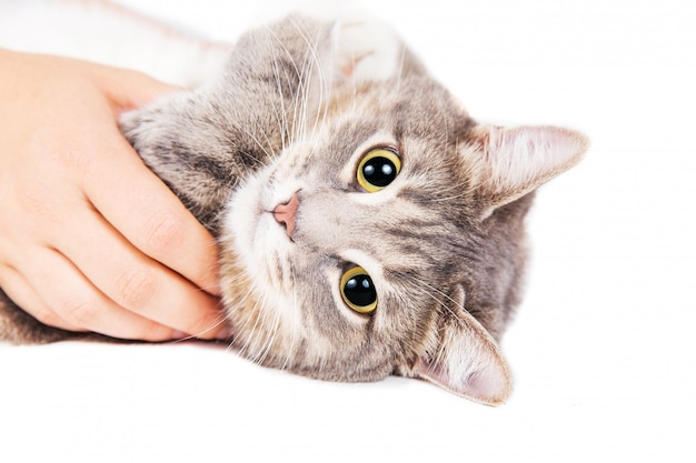 Gray striped cat lying in woman's hand on white background.