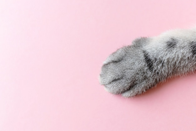 Gray striped cat's paw on a pink .