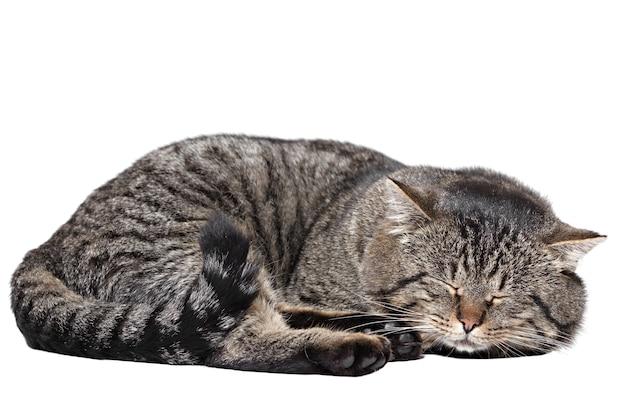 Серый полосатый кот спит на белом фоне. изолированный.