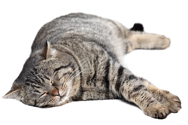 灰色条纹猫睡在白色背景上。孤立的。