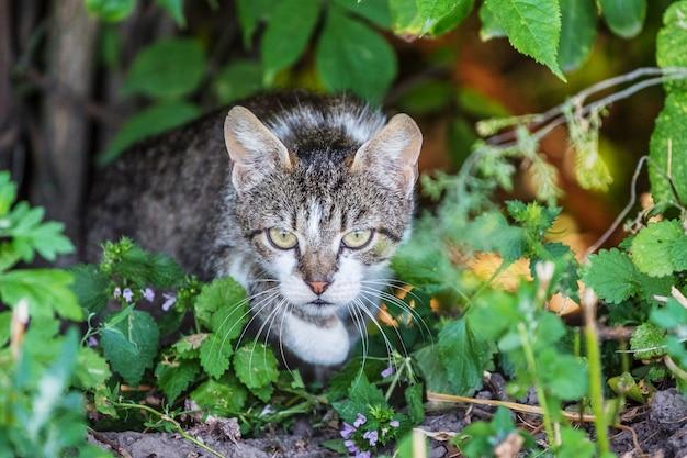 雑木林に焦点を当てた灰色の縞模様の猫。狩猟中の猫
