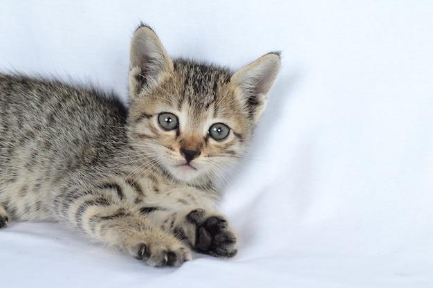 Серый полосатый котенок на белом фоне, маленький хищник,