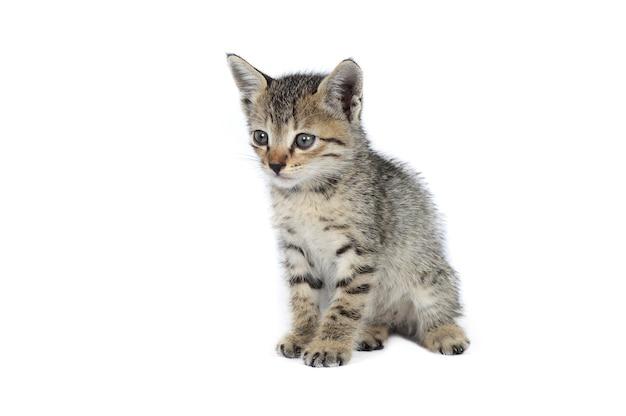 白い背景の上の灰色の縞模様の子猫、小さな捕食者、