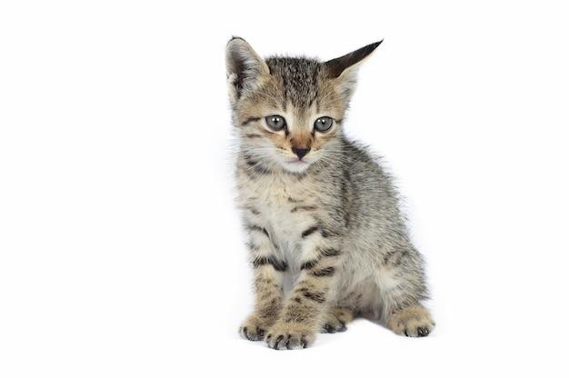 Серый полосатый котенок, маленький хищник,