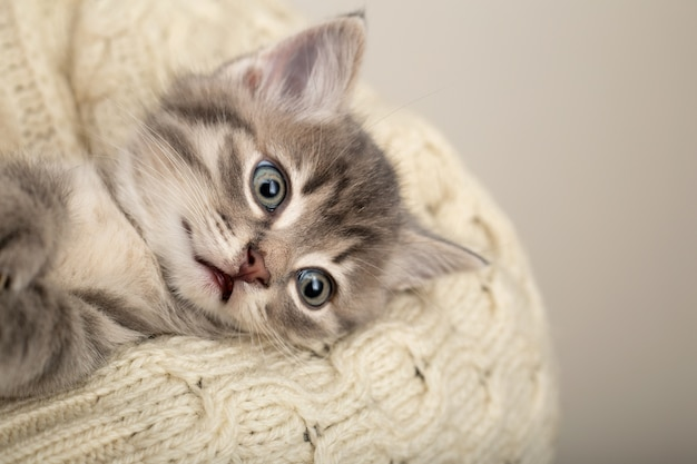 베이지 색면 스웨터에 재미 있은 얼굴을 가진 회색 줄무늬 고양이. 신생아 새끼 고양이 복사 공간.