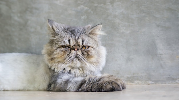 Gray striped persian cat sitting on gray background.