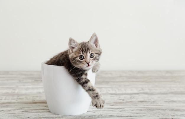 Серый полосатый котенок, сидящий в белом цветочном горшке, держит лапу снаружи. портрет очаровательного любопытного пушистого котенка с лапой. красивый котенок на белом фоне с копией пространства.