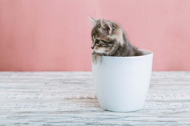 Gray tabby kitten sitting in white flower pot. portrait of adorable curious fluffy kitten look side. beautiful baby cat on pink background with copy space.