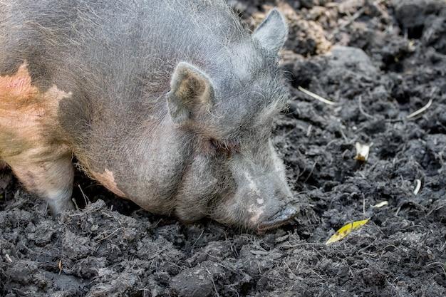 Серая вьетнамская свинья на болоте. разведение свиней_
