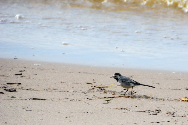 Gray wagtail on the shore of the volga river.