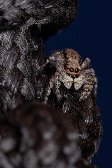 Gray wall jumper spider on black basket