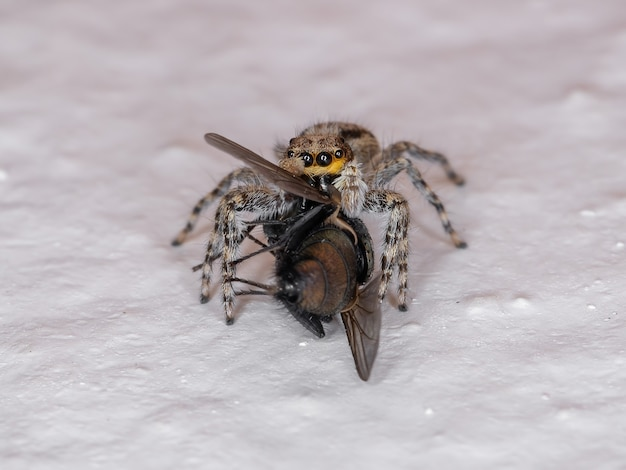 Gray wall jumping spider of the species menemerus bivittatus preying on a greenbottle fly genus lucilia