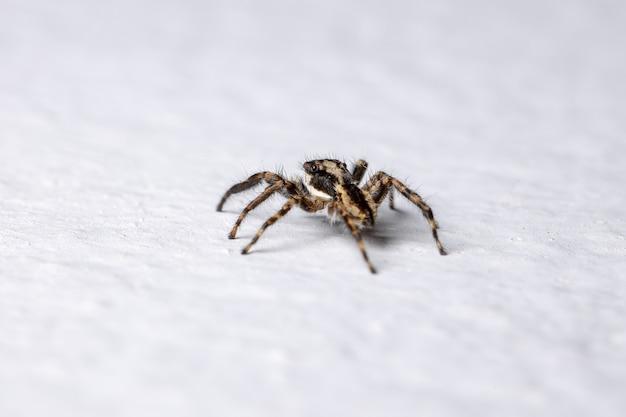 Gray wall jumping spider of the species menemerus bivittatus