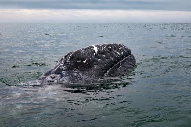 バハカリフォルニアのコルテス海のサンイグナシオラグーンにいるコククジラ(eschrichtiusrobustus)