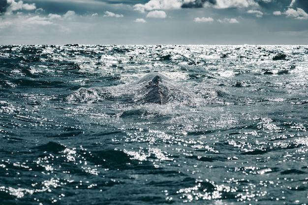 バハカリフォルニアのコルテス海のゲレロネグロに浮上するコククジラ(eschrichtiusrobustus)