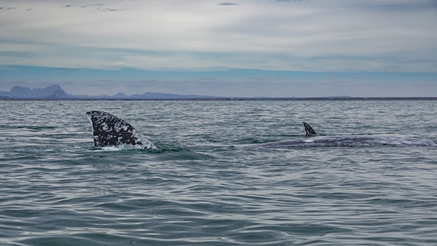 バハカリフォルニアのコルテス海のサンイグナシオラグーンに浮上するコククジラ(eschrichtiusrobustus)