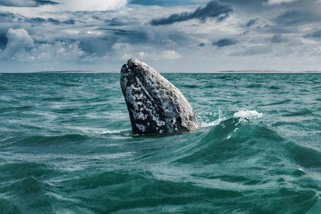 コククジラ(eschrichtiusrobustus)の浮上