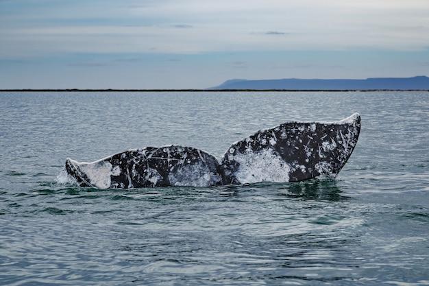バハカリフォルニア、コルテス海のサンイグナシオラグーンの水面上のコククジラの尾