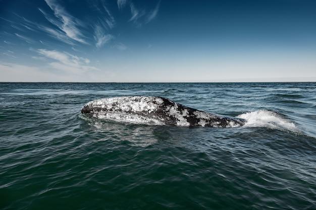 バハカリフォルニア、コルテス海のゲレロネグロで浮上するコククジラ