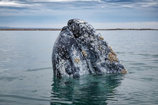 バハカリフォルニアのコルテス海のサンイグナシオラグーンで浮上しているコククジラ
